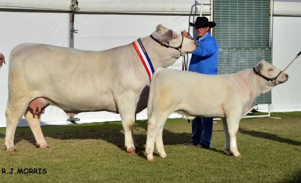 AISG10F Airlie Rebecca Grand Champion Charolais Female, Supreme Charolais Exhibit and All Breeds Grand Champion Female & All Breeds Grand Champion Pair Female